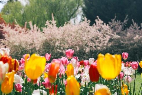 tuliptops-14